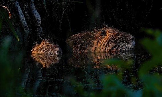 Nutria, Marsh, Water, Nature, Rodents, Fur, Mammals
