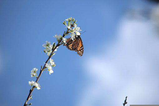 White Blossom, Monarch, Butterfly, Nature, Tree