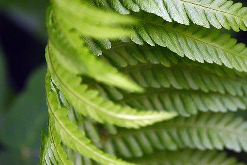 Fern, Polypody, Leaf, Green, Nature, Foliage, Forest