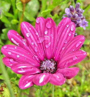 Purple, Daisy, Flowers, African Daisies, Daisies