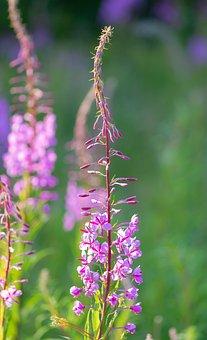 Fireweed, Rosebay Willow Herb