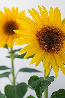 Sunflower, Sunflowers, Flowers, Flower, Yellow, Summer