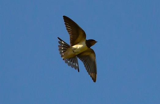 Swallow Flying, Swallow In Flight, Swallow, Small Bird
