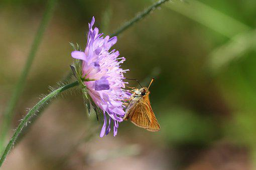 Skipper, Thymelicus Sylvestris, Brown