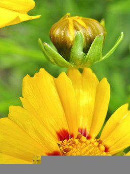 Tick-seeds, Bud, Coreopsis, Large-flowered Coreopsis
