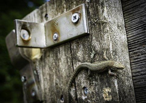Lizard, Wall Lizard, Reptile