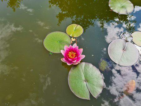 Waterlily, Water, Lotus, Pond, Lily, Nature, Pink