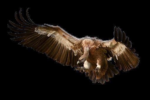Vulture, Bird, Plumage, Animal