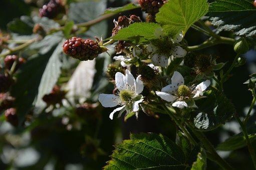 Blackberry, Blossom, Bloom, Immaturity Fruit, Leaves