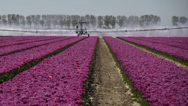 Dirksland, Tulips, Purple, Spring, Spray