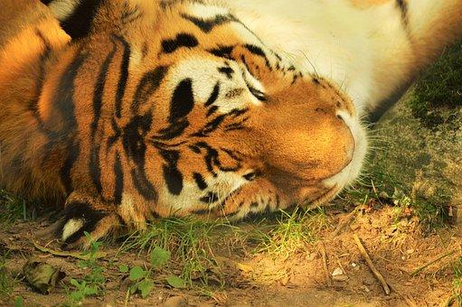 Tiger, Zoo, Granby, Sleeping, Fur