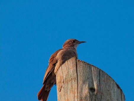 Ovenbird, Red Ovenbird, Bird, Nature, Wood, Argentina