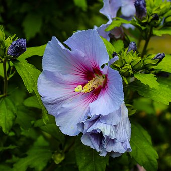 Hibiscus, Marshmallow, Blossom, Bloom, Garden, Summer