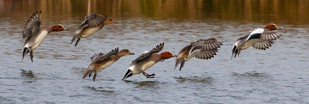 Wigeon Ducks, Ducks, Wigeon Flock, Colourful, Lake