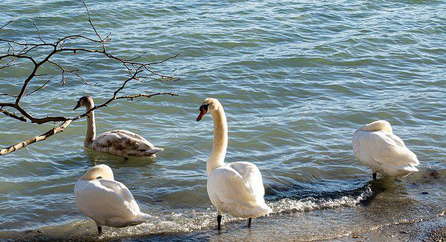 Swans, Young Swan, Young Animal, Waterfowl, Birds