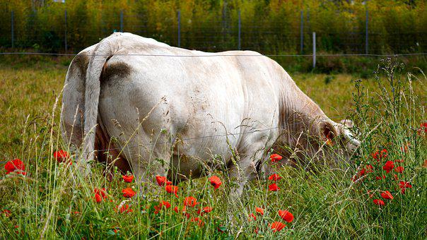 Cow, Animal, Farm, Agriculture, Livestock, Milk, Rural