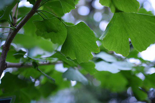 Ginko, Biloba, Maidenhair Tree