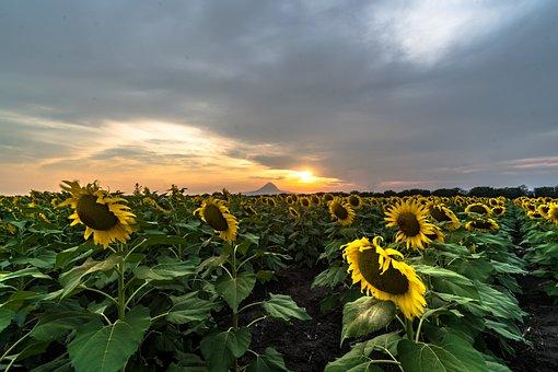 Sunflower, Sun, Summer, Flower, Yellow, Blossom, Plant