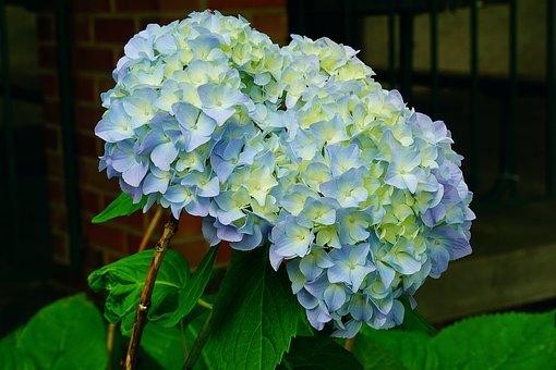 Hydrangea, Plant, Flowers, Blue, Blossom, Summer