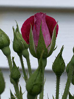 Rose, Bud, Bloom, Flower, Nature, Plant, Garden, Red