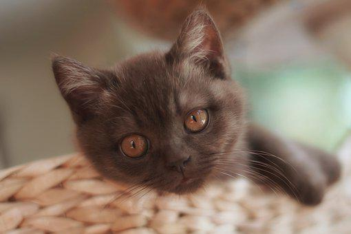 Kitten, Cat, Cute, Domestic Cat, Sweet, Cat's Eyes, Pet