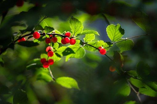 Cherry, Red, New, Strawberries