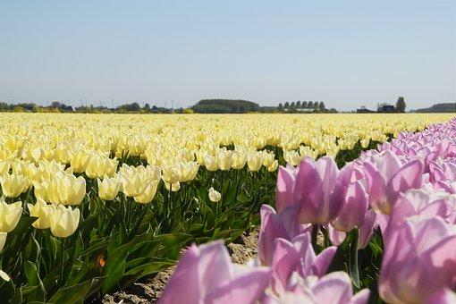 Dirksland, Spring, Purple, White