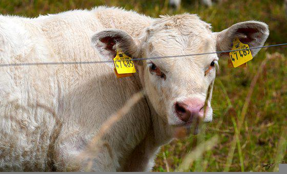 Cow, Animal, Farm, Agriculture, Livestock, Milk, Rural