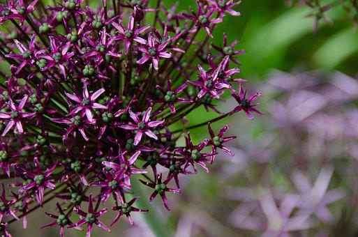 Ornamental Onion, Leek, Allium, Star, Violet, Purple