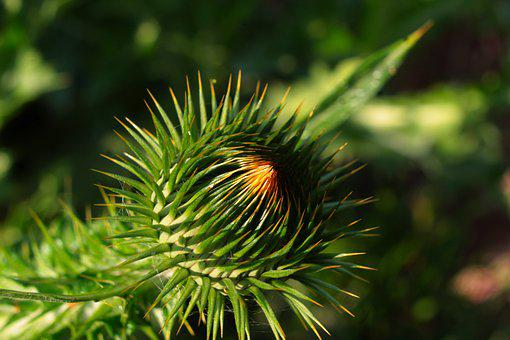Nature, Plants, Green, Prickly, Thistle, Bud, Sharp