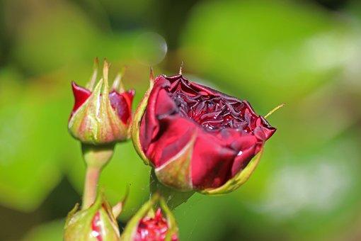 Rose, Blossom, Bloom, Romantic, Bloom, Garden, Beauty