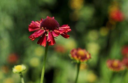 Helenium Moerheim Beauty, Rosilla, Summer Flowers