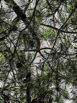 Scots Pine Pinus Sylvestris, Blossom, Bloom, Pine