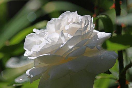 White Rose, Rose, Blossom, Bloom, Romantic, Bloom