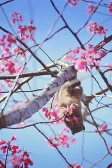 Squirrel, Cherry, Blossom, Spring, Flower, Animal, Hang