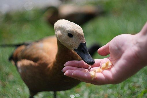 Duck, Animal, Bird, Nature, Swan, Plumage, Mallard