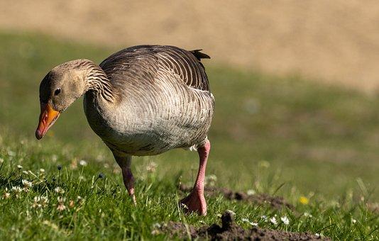 Goose, Meadow, Bank, Water Bird, Animal, Animal World
