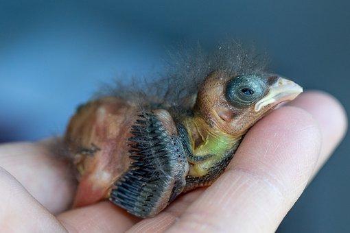 Bullfinch, Gimpel, Bird Chicks, Bird, Songbird