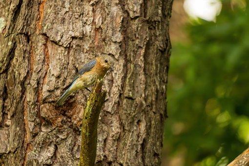 Eastern Bluebird, Bluebird Female, Bluebird Perched