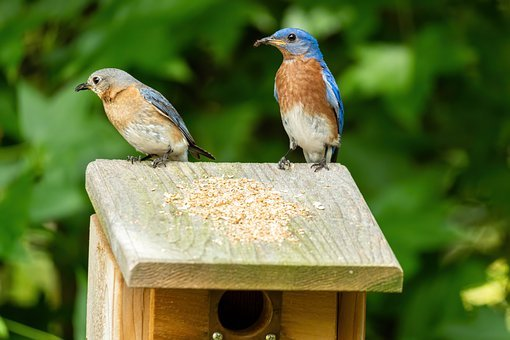 Eastern Bluebird, Bluebird Mated Pair