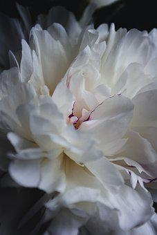 Macro, Flowers, Bunch Of Flowers, Peony, Peonies