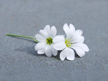 Downy Madárhúr, Cerastium Tomentosa Me, Tiny, Flower
