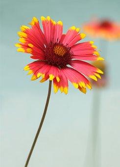 Kokárda Flower, Gaillard In The Arista Was, Color