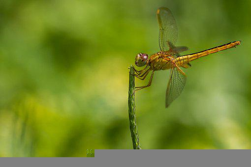 Dragonfly, Nature, Green, Animal, Gold, Wildlife