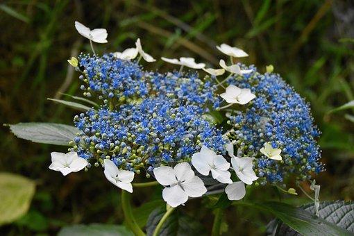 Hydrangea Blue, Blue Flowers, White Flowers, Flowering