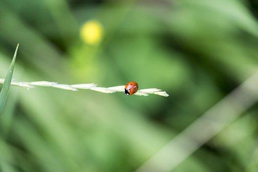 Beetle, Insect, Ladybug, Lucky Charm