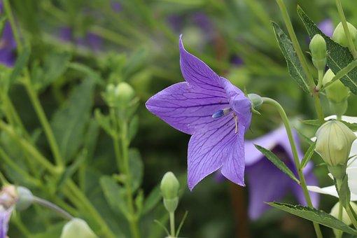 Natural, Plant, Flowers, Kikyo, Purple, Bud