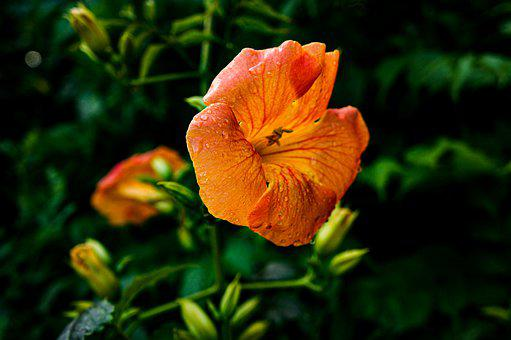 Flower, Flowers, Bignone, Plants, Nature, Spring