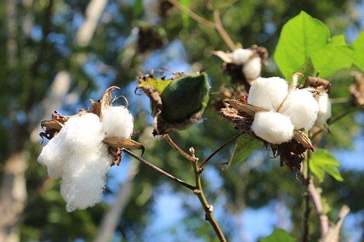 Cotton, Flower, Nature, Flowers, Plants, Peru, Amazon