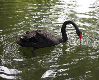 Swan, Swimming, Lake, Park